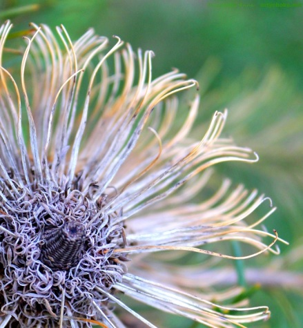 A different stage of the banksia flower - spent! And still beautiful.