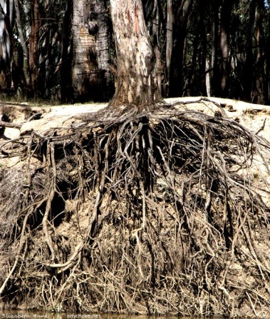 Exposed tree roots on the banks of the Murrumbidgee River near Carrathool NSW
