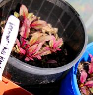 The beetroot also came up pretty quickly, tiny little red leaves to start with.