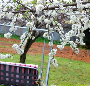 The same blossom tree... looking onto what is soon to be my vegie patch