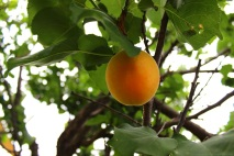 We have an apricot (pictured), plum and two lemon trees. Both the stonefruit are fruiting now; apricots are being eaten by large black ants and the plum by the local parrots before they are ripe... sharing is caring!