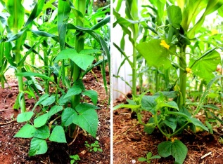 I've planted sweetcorn, tomatoes, cucumbers and climbing beans together in one bed. I'm using the corn like stakes for the other plants; the beans (pictured left - purple king climbing bean) haven't needed much encouragement. The cucumbers (right) I've gently wrapped around and onto the corn stems and leaves, as well as leaning tomatoes towards them and hooking some of the lateral growth over the leaves of the corn. I did originally plan to tie the tomatoes to the corn stems as you would to a stake, but later decided to see if I could train them well enough to be supported by the corn. A plant was planted next to every corn plant. Next time I'll plant closer together with the expectation that this will make it easier to keep plants upright and supported, particularly tomatoes.