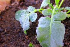Little broccoli plant right at home in the frosty weather.