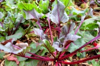 """""""Bulls Blood"""" Beetroot - love growing them for the deep red the leaves can go. Haven't picked any beets yet but harvested the leaves occasionally."""