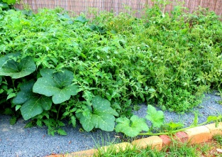 The pumpkins starting to creep into the tomato patch, and across the path, and everywhere else too.