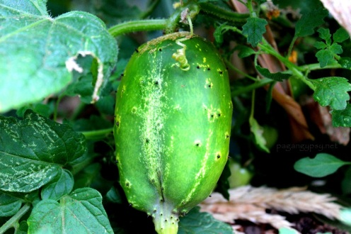 One of our cucumbers - this looks to be African Horned Cucumber.