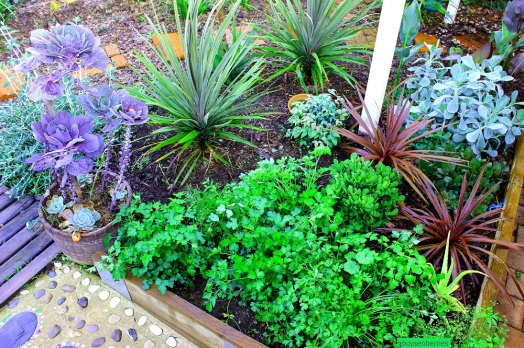 Food gardens don't have to be isolated boxes at the back of your yard. This garden was near our back patio area. Self seeded Coriander, beside it a purple brussel sprout growing in a pot.