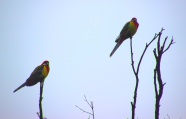 Eastern Rosellas also having a shower.