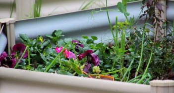 One of the children's gardens, planted with pansies, spring onions, a blueberry bush, strawberries, a basil struggling to hang on til warmer weather (formerly protected by many weeds), the odd pea shoot from the mulch (one of said weeds), as well as a couple of succulents.